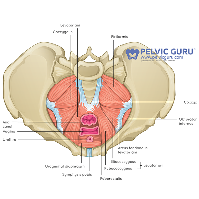 Pelvic floor muscles from superior view